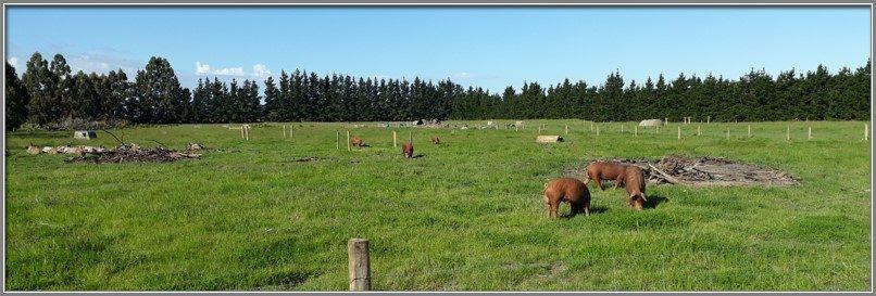 Our Free Range Pig Farm Poaka New Zealand