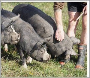 Free range Berkshire Pigs