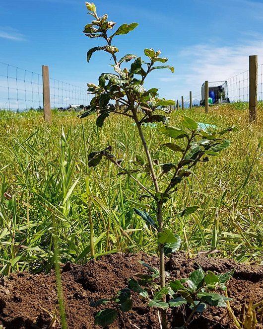 Young Poaka Acorn Tree